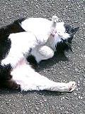 菊千代柄の猫