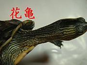 ハナガメ-Ocadia sinensis