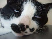白黒鼻ポチ猫