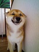 柴犬飼ってます。