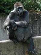 ゴリラ【gorilla】