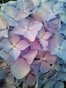 紫陽花ちゃんを愛する人へ・・・