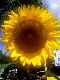 向日葵−ひまわり−