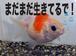 縁日の金魚がまだ生きている。