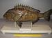 クロダイ研究室と釣り情報