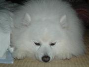 日本スピッツ犬