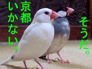 文鳥ルンバ