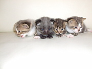 短足猫(マンチカン)と仲間達