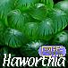 Haworthia図鑑