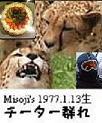1977.1.13生 チーター群