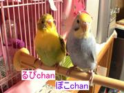 愛☆鳥 INKO  (*≧∀≦*)
