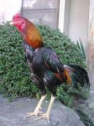 闘鶏。ほっトウケイないよ。