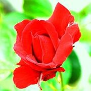 薔薇の香りが好き