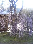 満開も好きだけど、葉桜も好き。