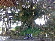 ポタリングで巨木めぐり
