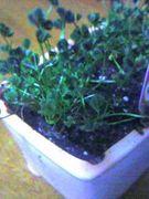 幸せを育てる!クローバーの栽培