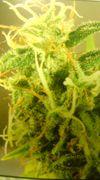 大麻解放連合(´Д`)y-・~