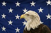白頭鷲-Bald Eagle-