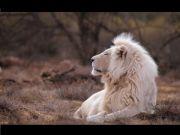 動物占いライオン:ゲイ・ビアン