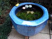 メダカの火鉢池