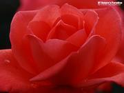 憂鬱な薔薇の会